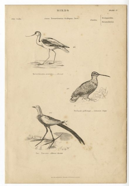 1864 BIRDS Avocet Snipe Jacana PRINT FROM ENGRAVING Lily Trotter Jesus Bird (27)